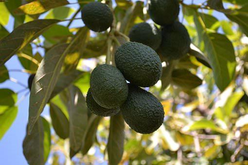 avocado-aan-boom